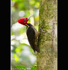 Male Pale-billed Woodpecker- Corcovado National Park - Costa Rica (Lucie et Philippe) Tags: voyage trip travel america nationalpark costarica central corcovado lasirena centrale osapeninsula amérique lineatus dryocopus mygearandme