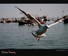 A Glimpse of Power (Ray Frames) Tags: india allahabad birdphotography maghmela slbflying