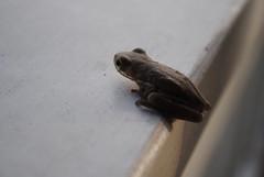 2010_1123 695.. Gulf coast amphibian (riffsyphon1024) Tags: november macro animal al nikon small alabama amphibian frog creature gulfshores 2010 gulfcoast baldwincounty d3000 november2010 nikond3000 shrimpbasket