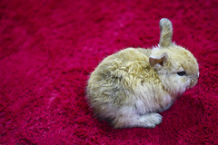 Mini rabbit. (sfk84) Tags: pet pets rabbit animal minirabbit