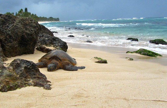 Hawaii, Oahu, Northe Shore, Laniakea Beach, Sea Turtle