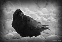 The Raven (Morgan Swant) Tags: west nature river northwest fort nt north nwt valley northern mighty simpson cho mckenzie territories territory deh mackenzieriver dehcho mackenzievalley