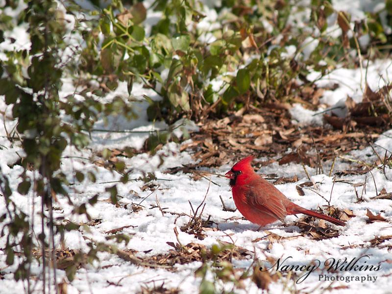 41/365 I love cardinals