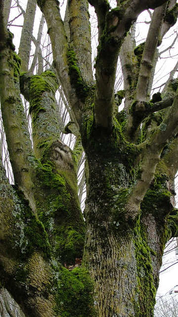 Walnut tree in winter, covered with moss