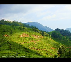 Lush- Green  Munnar (Rimi's Magik!) Tags: travel india green tourism nature beautiful sunrise garden landscape tea chennai incredible tamilnadu munnar ndia
