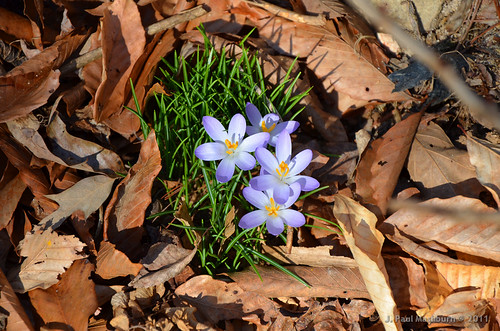 Crocus Surrounded