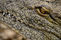 Nile Crocodile up-close (Martin_Heigan) Tags: camera wild portrait macro eye nature digital southafrica nikon close martin skin reptile wildlife teeth nile photograph crocodile croc dslr krokodil crocodylus reptilia toothysmile reptiel suidafrika niloticus crocodylidae heigan february2011 nikkorafs70300mmvr d7000 mhsetwildlife
