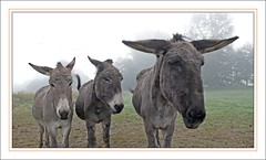 P1010243 (Jack-56) Tags: donkeys dcollage hlicoptre anes