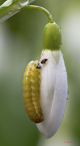 Caterpillar On A Snowdrop