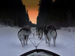 The Team (RD Crisp Photography) Tags: canada husky huskies dogsledding canadianrockies snowyowlsleddogtours