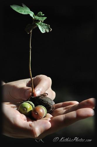 50-365 Acorns and an Oak Tree