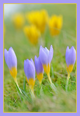 Nearly Spring (Full Moon Images) Tags: plant flower nature spring lawn crocus bennington lordship