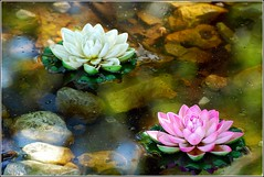 Water Lilys (Stefan Cioata) Tags: water beautiful photography photo nikon colours waterlily image sale great stock artificial best stefan explore manmade getty top10 apa nymphaea available nymphs outstanding waterlilys nymphaeaceae d80 nuferi nufar cioata