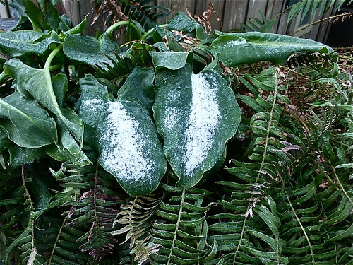 Snow on the calla lily leaves
