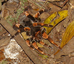 Orange-kneed Tarantula (Anita363) Tags: orange black fauna female spider costarica arachnid tarantula endemic theraphosidae araneae nighttour megaphobema orangekneedtarantula megaphobemamesomelas hiddenvalleymonteverde
