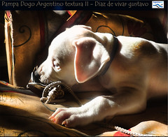 Pampa dogo Argentino textura II - Diaz de vivar gustavo (Diaz De Vivar Gustavo) Tags: dog textura love animal puppy that de is friend lick bulldog gustavo ii fotos cachorro wound companion footprint pampa noble diaz dogo faithful argentino able the vivar caraceristicas