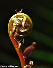 Fern swirl (Okinawa Nature Photography) Tags: red green exploring ferns greatnature kunigami nikonoutdoors okinawanaturephotography shawnmiller2011 nikond90105macro northerokinawa