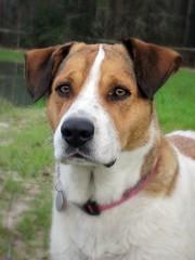 harley is the definition of beautiful (Willow Creek Photography) Tags: dog mutt canine mongrel mixedbreed femaledog k9 bigdog brownandwhitedog pitbullmix houndmix dogheadshot kingstonreyphotography