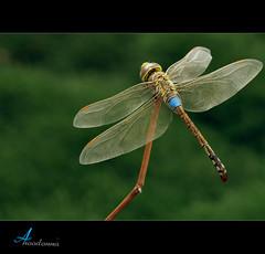 Dragonfly (ANOODONNA) Tags: macro ex canon eos dragonfly sigma f28 dg 105mm sigma105mmf28exdgmacro 50d canoneos50d  flickrunitedaward anoodonna  alanoodalrasheed