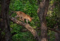 Leopard @ Kanha Tiger Reserve (The Eternity Photography) Tags: india tourism nature animal forest canon relax mammal nationalpark asia wildlife safari leopard bigcat jungle predator panther 2009 sanctuary wildlifesafari digitalphotography gamedrive madhyapradesh kanhatigerreserve carnivora kanha badrinath felidae centralindia supertelephoto supertele indiatourism wildlifephotography wildindia indianwildlife kanhanationalpark incredibleindia canonllens iloveindia savethetiger 40d canon600mm kanhawildlifesanctuary canoneos40d canon40d visitindia natureislovely indianleopard canonef600mmf4lisusm santanubanik theeternity savethewildlife flickrbigcats pantherapardusfusca madhyapradeshtourism     leopardinthewild badrinathkanha kanhatrip indianpanther iloveindianwildlife    wwwfrozenforeternitycom centralindiaforest
