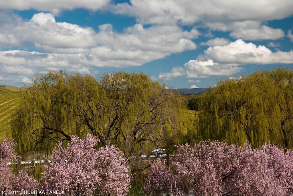 Napa Valley and Sakuras