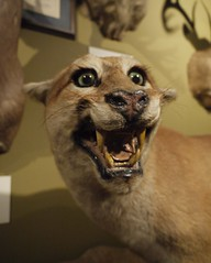 Never Insult Your Taxidermist (J.P. EVERETT) Tags: mountain beer museum weird stuffed san ranger texas lion taxidermy mount mounted preserved antonio saloon cougar awful buckhorn botched