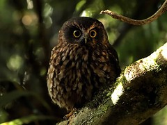 Morepork/Ruru close encounter (digitaltrails) Tags: eastbourne morepork ruru daysbay ninoxnovaeseelandiae eastharbourregionalpark eastharbourpark