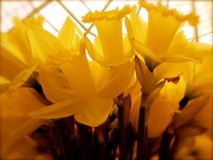 Daffo-delicious by Dowbiggin