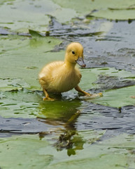 Walking on Water (sort of) (Janice O'Donnell) Tags: baby duck duckling babyduck