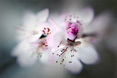 Ethereal Spring (Jacky Parker Floral Art) Tags: uk flowers macro tree nature horizontal closeup landscape spring flora blossom vibrant creative peach ethereal blooms orientation jackyparkersignsofspringassignment