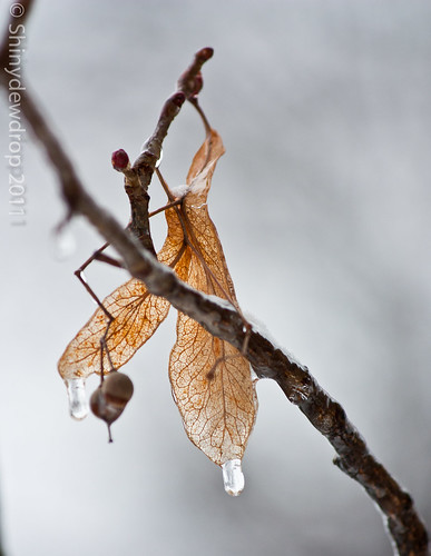 Frozen Leaves and Berries