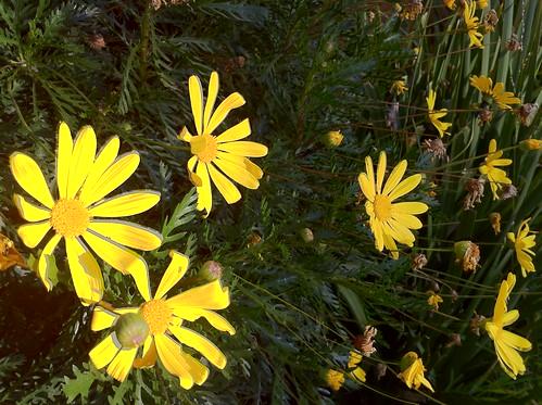 Euryops (Bush Daisy)