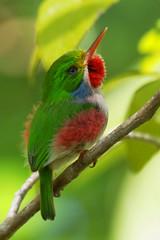 Cuban Tody (Todus multicolor) (Dave 2x) Tags: cuba cubantody todusmulticolor daveirving httpwwwdaveirvingwildlifephotographycom