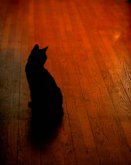 negative space (BaubCat) Tags: shadow black silhouette night cat oak feline flickr floor pussy explore just basil meow kathmandu goofing hardwood baubcat zlzq flickrbingog55 notreallyin