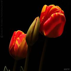 Glamour (m@®©ãǿ►ðȅtǭǹȁðǿr◄©) Tags: barcelona flowers españa flores canon glamour tulips tulipas catalunya tulipanes ripollet canonef50mmf18ii canoneos400ddigital m®©ãǿ►ðȅtǭǹȁðǿr◄© marcovianna