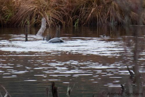 Otters in the Beaver Bog   -3.jpg