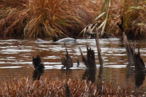 Otters in the Beaver Bog   -21.jpg