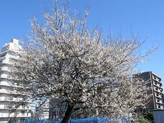 #6021 Japanese apricot (白梅), white (Nemo's great uncle) Tags: flower geotagged tokyo flora 東京 花 ume prunus 梅 japaneseapricot chitosedai 世田谷区 setagayaku 白梅 サクラ属 千歳台四丁目 geo:lat=3565756315213703 geo:lon=1396143964418029