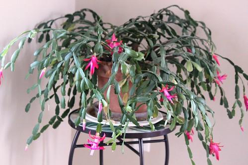 St Patrick's Day Cactus