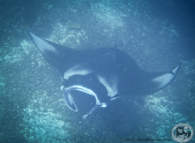 Mouth Of Oceanic Manta Ray