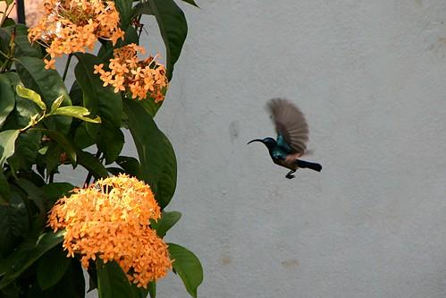 LotensSunbird