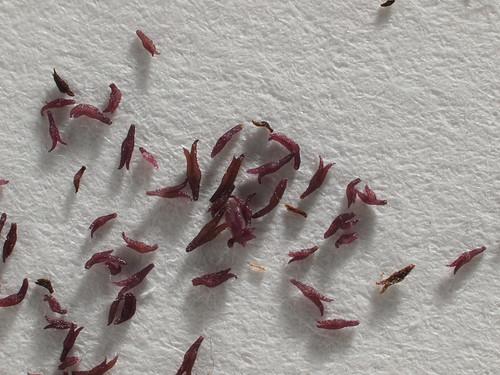 Titanotrichum oldhamii propagules