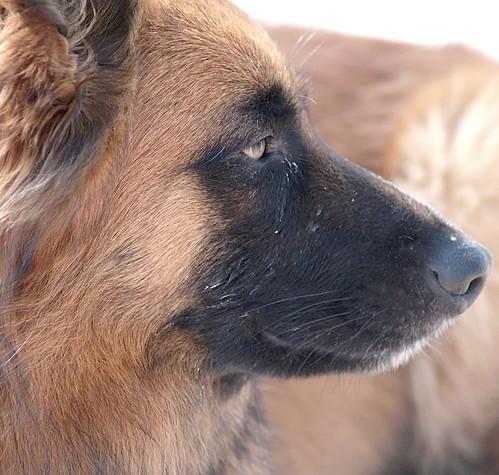 Harzer Fuchs im Profil