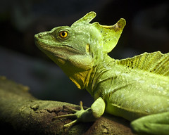 Our Little Green Friend (Ganymede: Photography) Tags: madrid black male green zoo aquarium casa nikon friend frame campo greenbasilisk casadecampo d60 doublecrested basilisk plumed blackframe nikond60 viewonblack plumedbasilisk doublecrestedbasilisk zooaquariumofmadrid
