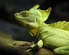 Our Little Green Friend (Ganymede: Photography) Tags: madrid black male green zoo aquarium casa nikon friend frame campo greenbasilisk casadecampo d60 doublecrested basilisk plumed blackframe nikond60 viewonblack plumedbasilisk doublecrestedbasilisk zooaquariumofmadrid