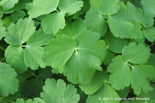 Columbine foliage
