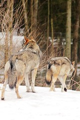 Grey Wolf (Canis lupus) (macca_1985) Tags: zoo sweden sverige chrismclean nordensark canon70300f456 nordens canoneos550d