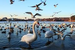 Vannhull (bjarne.stokke) Tags: mars lake norway canon norge is swan seagull swans 20mm blink vann fugler gettyimages rogaland haugesund sj ender svaner 500d mke 2011 swane greatshots mker thegalaxy svane