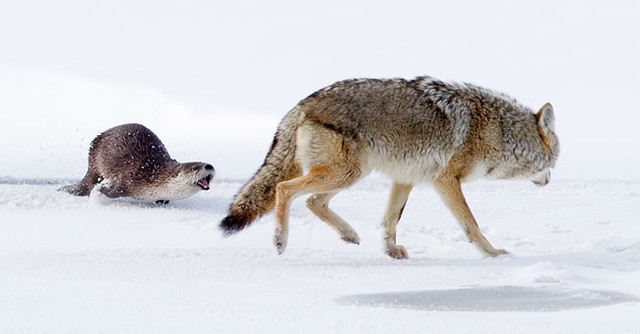 Otter vs. Coyote: Surprise Attack
