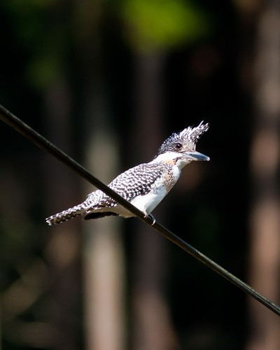 crested kingfisher2